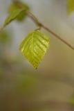Βγάζει φύλλα στο δέντρο Στοκ εικόνες με δικαίωμα ελεύθερης χρήσης