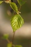 Βγάζει φύλλα στο δέντρο Στοκ Εικόνες