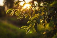 Βγάζει φύλλα στο φως του ήλιου βραδιού Στοκ Εικόνες
