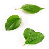 Βγάζει φύλλα το απομονωμένο άσπρο υπόβαθρο Στοκ φωτογραφία με δικαίωμα ελεύθερης χρήσης