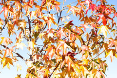 Βγάζει φύλλα το φθινόπωρο με το φωτεινό ουρανό Στοκ Φωτογραφίες