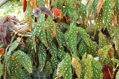 Βγαλμένο φύλλα σημείο begonia Στοκ Εικόνα