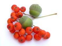 βελανίδια ashberry Στοκ Εικόνα