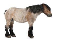 βελγικό βαρύ άλογο brabancon Στοκ Εικόνες