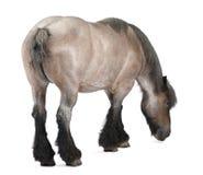 βελγικό βαρύ άλογο brabancon Στοκ εικόνα με δικαίωμα ελεύθερης χρήσης