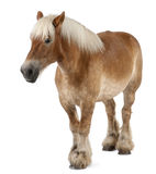 βελγικό βαρύ άλογο brabancon Στοκ φωτογραφία με δικαίωμα ελεύθερης χρήσης
