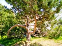 Βελόνα-δέντρο στοκ εικόνες