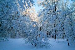 Βελόνα στο χειμώνα πιό forrest Στοκ φωτογραφίες με δικαίωμα ελεύθερης χρήσης
