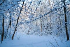 Βελόνα στο χειμώνα πιό forrest Στοκ εικόνα με δικαίωμα ελεύθερης χρήσης