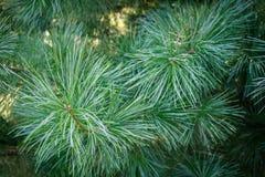 Βελόνες, κωνοφόρο δέντρο στοκ φωτογραφίες με δικαίωμα ελεύθερης χρήσης