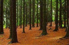 Βελόνες φθινοπώρου στα ξύλα στοκ φωτογραφία
