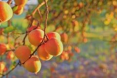 Βερίκοκα στο δέντρο βερικοκιών Θερινά φρούτα τα βερίκοκα διακλαδίζο κλείστε επάνω Άποψη σχετικά με τα βερίκοκα κατά τη διάρκεια τ Στοκ Φωτογραφίες