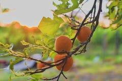 Βερίκοκα στο δέντρο βερικοκιών Θερινά φρούτα τα βερίκοκα διακλαδίζο κλείστε επάνω Άποψη σχετικά με τα βερίκοκα κατά τη διάρκεια τ Στοκ εικόνες με δικαίωμα ελεύθερης χρήσης