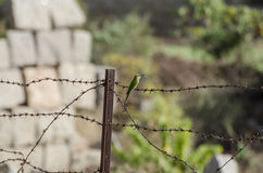 Βεραμάν πουλί στο barbwire Στοκ Εικόνες