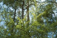Βεραμάν χνουδωτοί κλάδοι του δέντρου αγριόπευκων Το δέντρο αγριόπευκων διακλαδίζεται στον ήλιο φρεσκάδα της θερινής ημέρας Φυσική στοκ εικόνες
