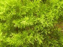 Βεραμάν Arborvitaes στοκ εικόνες με δικαίωμα ελεύθερης χρήσης