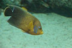 Βερμούδες μπλε Angelfish, bermudensis Holacanthus Στοκ Φωτογραφίες