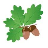 Βελανίδια με τα δρύινα φύλλα απομονωμένα στα καλοκαίρι αντικείμενα διανυσματική απεικόνιση