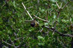 Βελανίδι στη βαλανιδιά ακροποταμιών, δάσος Utiel, Ισπανία Πράσινο φυλλώδες δέντρο με τα μικρά φύλλα Καφετιά φρούτα από Quercus το Στοκ Εικόνες