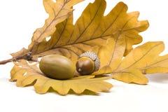 Βελανίδι δύο που βρίσκεται στα πεσμένα δρύινα φύλλα Στοκ Εικόνα
