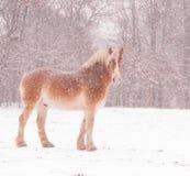 Βελγικό άλογο σχεδίων σε μια χιονοθύελλα, στοκ εικόνα