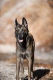 Βελγικό τσοπανόσκυλο, Malinois στη μόνιμη θέση από την μπροστινή άποψη Στοκ Εικόνες