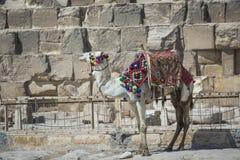 Βεδουίνο υπόλοιπο καμηλών κοντά στις πυραμίδες, Κάιρο, Αίγυπτος Στοκ φωτογραφία με δικαίωμα ελεύθερης χρήσης