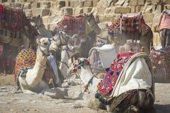 Βεδουίνο υπόλοιπο καμηλών κοντά στις πυραμίδες, Κάιρο, Αίγυπτος Στοκ εικόνες με δικαίωμα ελεύθερης χρήσης
