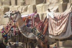 Βεδουίνο υπόλοιπο καμηλών κοντά στις πυραμίδες, Κάιρο, Αίγυπτος Στοκ Εικόνες