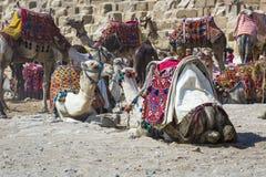 Βεδουίνο υπόλοιπο καμηλών κοντά στις πυραμίδες, Κάιρο, Αίγυπτος Στοκ φωτογραφίες με δικαίωμα ελεύθερης χρήσης