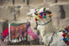 Βεδουίνο υπόλοιπο καμηλών κοντά στις πυραμίδες, Κάιρο, Αίγυπτος Στοκ εικόνα με δικαίωμα ελεύθερης χρήσης