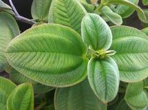 Βελούδο-φύλλο Tibouchina στοκ φωτογραφία με δικαίωμα ελεύθερης χρήσης