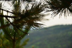 Βελόνες πεύκων με τις πτώσεις βροχής Στοκ φωτογραφία με δικαίωμα ελεύθερης χρήσης