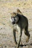 Βηματισμός baboon Στοκ Φωτογραφίες