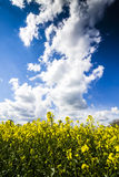 Βιασμός ελαιοσπόρων Κίτρινες εγκαταστάσεις με το μπλε ουρανό Στοκ φωτογραφία με δικαίωμα ελεύθερης χρήσης