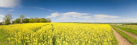 Βιασμός ελαιοσπόρων, Canola, συγκομιδή biodiesel Στοκ φωτογραφία με δικαίωμα ελεύθερης χρήσης