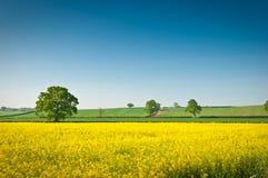 Βιασμός ελαιοσπόρων, Canola, συγκομιδή biodiesel Στοκ εικόνα με δικαίωμα ελεύθερης χρήσης