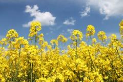 Βιασμός ελαιοσπόρων, Canola, συγκομιδή biodiesel Στοκ Φωτογραφία