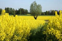 βιασμός κίτρινος Στοκ Φωτογραφία