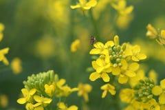 Βιασμός και μέλισσα Στοκ εικόνα με δικαίωμα ελεύθερης χρήσης
