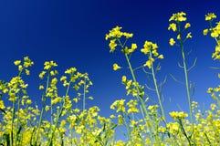 βιασμός λουλουδιών Στοκ εικόνα με δικαίωμα ελεύθερης χρήσης
