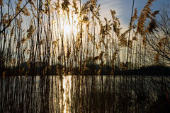 Βιασύνες κοντά στη λίμνη Στοκ φωτογραφία με δικαίωμα ελεύθερης χρήσης