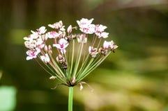 Βιασύνη ανθίσματος πορτρέτου φυτού στοκ φωτογραφία με δικαίωμα ελεύθερης χρήσης