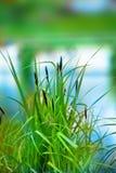 βιασύνη φυτών στοκ εικόνες με δικαίωμα ελεύθερης χρήσης