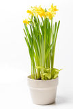 Βιασύνη daffodils & x28 Νάρκισσοι jonquilla& x29  σε ένα δοχείο σε ένα άσπρο backgro στοκ φωτογραφία με δικαίωμα ελεύθερης χρήσης