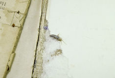 Βιβλία και εφημερίδες παρασίτων Να ταΐσει εντόμων με χαρτί - silverfish Στοκ Φωτογραφία