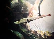 ΒΙΕΝΝΗ, ΑΥΣΤΡΙΑ - 8 ΣΕΠΤΕΜΒΡΊΟΥ 2017 Γιγαντιαία ψάρια Arapaima που κολυμπούν σε ένα ενυδρείο στο ζωολογικό κήπο παλατιών της Βιέν Στοκ φωτογραφία με δικαίωμα ελεύθερης χρήσης