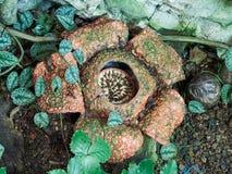 ΒΙΕΝΝΗ, ΑΥΣΤΡΙΑ - 8 ΣΕΠΤΕΜΒΡΊΟΥ 2017 Μεγαλύτερο λουλούδι στο arnoldii παγκόσμιου Rafflesia στην άνθιση στο ζωολογικό κήπο Schonbr Στοκ εικόνες με δικαίωμα ελεύθερης χρήσης