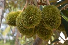 Βιετνάμ - Mekong του δέλτα Durian στοκ φωτογραφία