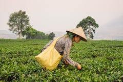 Βιετναμέζικα φύλλα τσαγιού επιλογής γυναικών στη φυτεία Sapa Στοκ φωτογραφίες με δικαίωμα ελεύθερης χρήσης